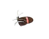 doris бабочки longwing Стоковые Фотографии RF