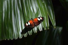 Doris Butterfly Immagine Stock