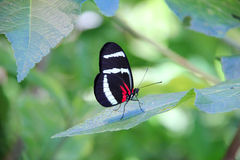 Doris Butterfly. Close up of  a red, white and black Doris butterfly perched on a green leaf Stock Images