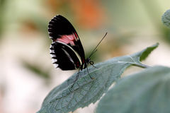 Doris de repos longwing Photo libre de droits