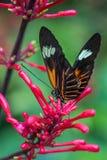 Doris Laparus, longwing Дорис или бабочка Дорис на красном цветке стоковые фотографии rf
