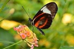 Doris long wing butterfly feeds in the gardens Royalty Free Stock Images