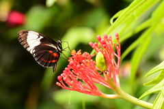 Doris long wing butterfly feeds in the gardens Royalty Free Stock Photo