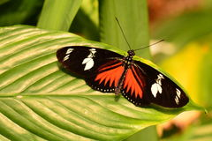 Doris long wing butterfly lands in the gardens Royalty Free Stock Photography