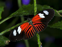 Doris Longwing Butterfly. Photo of a Doris Longwing Butterfly, of the Nymphalidae family, ranging from Mexico through the Amazon Basin stock photo