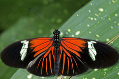 Doris Longwing Butterfly. A Doris Longwing Butterfly, of the Nymphalidae family, native of the Amazon Basin through Mexico stock images