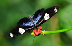 Doris Longwing butterfly Royalty Free Stock Photo