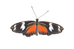 Doris Longwing Butterfly Stock Images