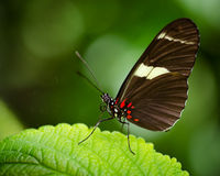 Doris Longwing butterfly (Heliconius Doris) Stock Images