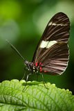 Doris Longwing butterfly (Heliconius Doris) Stock Photos