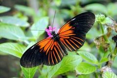 Doris Longwing Butterfly. Latin name Heliconius Doris Royalty Free Stock Photography