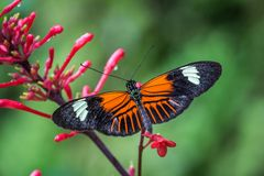 Doris Longwing butterfly on a red flower stock photo