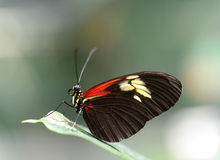 Doris Longwing butterfly resting on a leaf Royalty Free Stock Photography