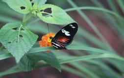 Doris longwing motyl, Laparus doris Obraz Royalty Free