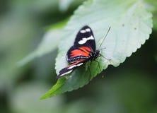 Doris longwing motyl, Laparus doris Fotografia Royalty Free