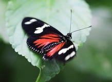 Doris longwing motyl, Laparus doris Zdjęcia Stock