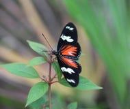 Doris longwing motyl, Laparus doris Obraz Stock
