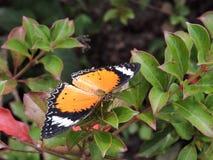 doris longwing motyla Zdjęcie Stock
