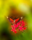 doris longwing motyla Zdjęcie Royalty Free