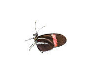 doris longwing motyla Zdjęcia Royalty Free