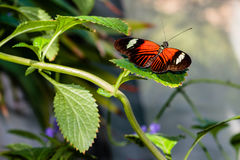 doris longwing motyla Fotografia Stock