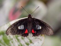 Doris-Schmetterling auf Blatt stockbild