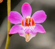 Doritis orkidé från rainforest Royaltyfri Foto