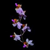 Doritis pulcherrima Stock Image