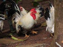 Dorking chicken. Royalty Free Stock Photos
