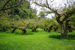 Dormancy peach orchard. Dormant peach in cool season of Thailand with grass covering its trunk Stock Images