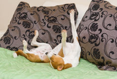 Dormant Basenji dog being in funny sleeping pose Stock Photos