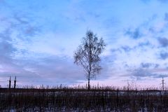 Dormant birch in middle of winter snow-covered field Stock Image
