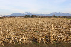 Dormant Cornfield Stock Photography