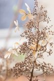 Dormant flowers and seeds on Hydrangea paniculata shrub during wintertime. Dormant flowerhead and seads on Hydrangea paniculata shrub during wintertime Royalty Free Stock Photo