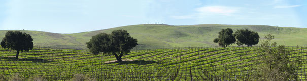 Dormant grape vines in spring panorama Royalty Free Stock Photos
