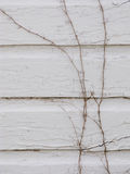 Dormant Ivy Stock Photography