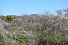 Dormant Kudzu Vine Landscape royalty free stock image