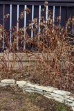 Dormant rapsberry canes in the spring ready to be cut back.  royalty free stock photos