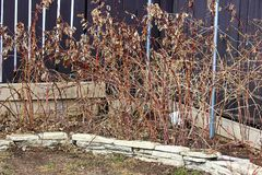 Dormant rapsberry canes in the spring ready to be cut back.  royalty free stock images