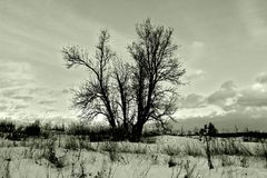Dormant tree in winter snowy field Stock Image