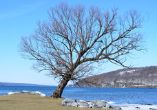 Dormant tree in winter on Watkins Glen harbor Royalty Free Stock Photography