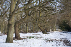 Dormant trees in the snow. Winter landscape of dormant trees in the snow at Wenhaston, Suffolk, England stock photo