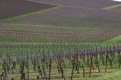 Dormant Trestled Grapevines Against a Background of Green Grass on Rolling Hills. Vineyard - Rows of Dormant Trestled Grapevines Against a Background of Green royalty free stock photo