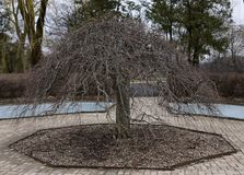 Dormant Weeping Crabapple Tree. This is a Winter picture of a dormant Crabapple Tree located in he Octagon Garden in Cantigny Park located in Winfield, Illinois Stock Images