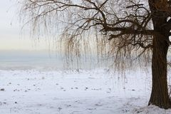 Dormant Weeping Willow on Chicago Lake Shore. A dormant weeping willow tree stands on the snow-covered sand at Loyola Beach in the Rogers Park neighborhood of stock images