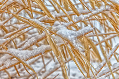 Dormant Wild Grass Under Weight of Winter Snow Stock Photo