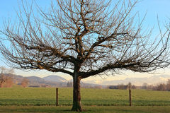 Dormant Winter Tree Royalty Free Stock Photography