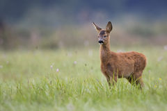 Dormant young roe deer in a clearing. Dormant young roe deer in the wild, in a clearing royalty free stock images