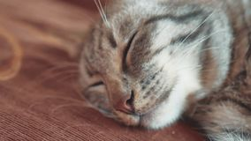 Dormendo sul sogno perfetto del gatto a strisce del gatto del letto gatto che dorme nella coperta, fuoco selettivo stile di vita  stock footage