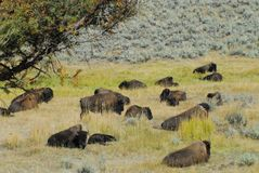 Dormida do búfalo de Montana/Wyoming, EUA no dia Sun do meio-dia fotos de stock royalty free